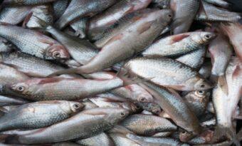 कैंसर फैलाने वाले पदार्थ मिलने के बाद, पटना में मछलियों की बिक्री पे बैन।